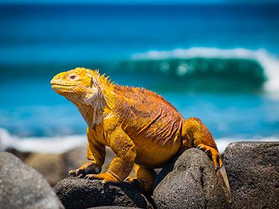 Iguana sa Galapagosa