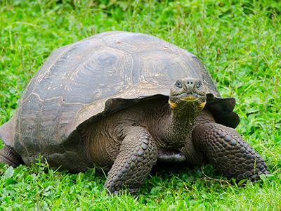 Kornjača sa Galapagosa