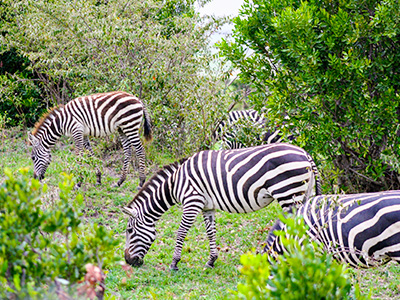 Zebre, Kenija