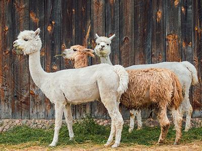 Životinje u Peruu